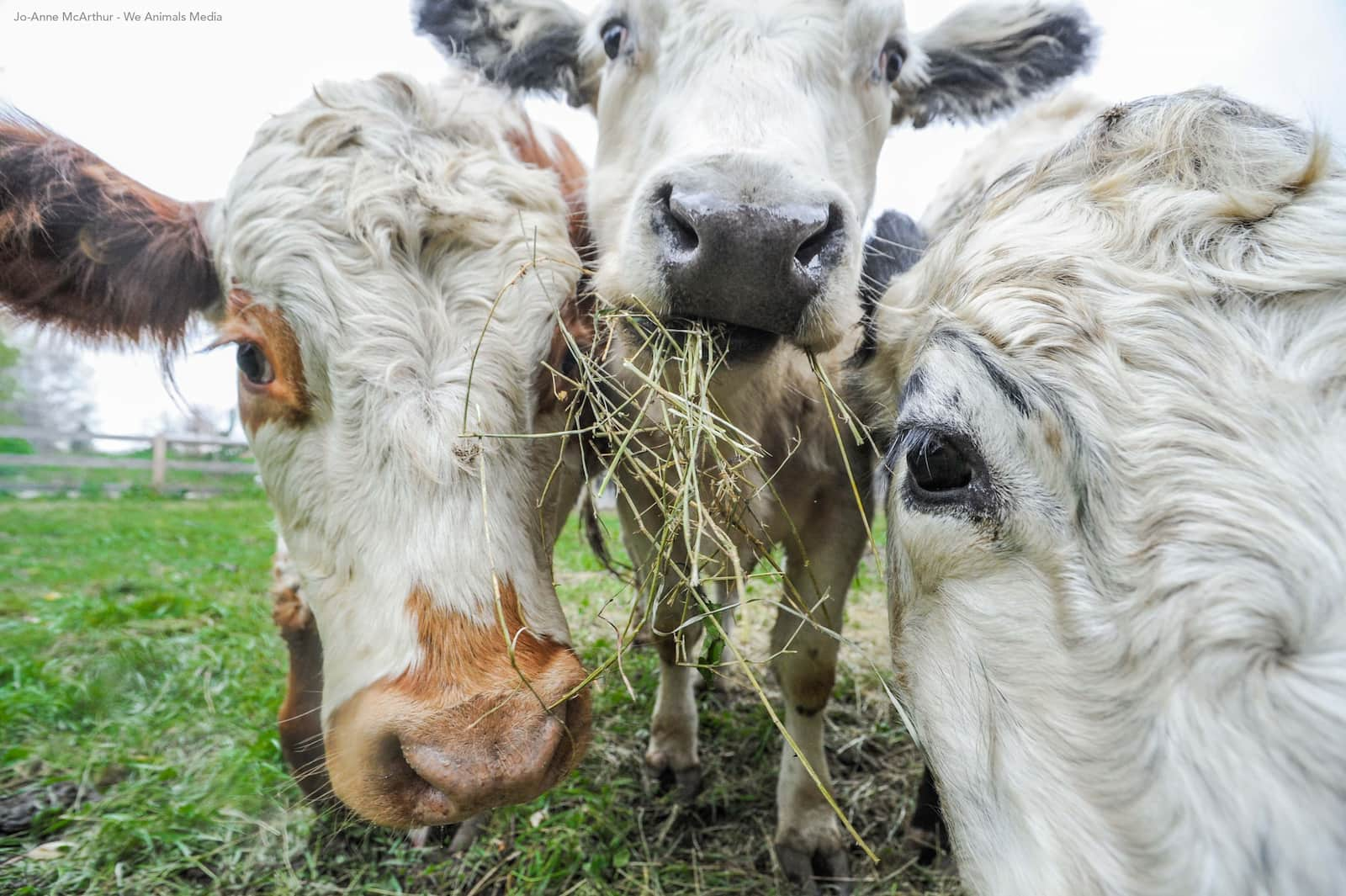 Close up photo of three cows eating. Photo by Jo-Anne McArthur from We Animals Media.